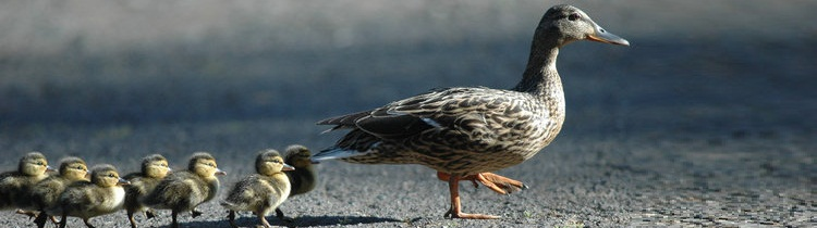 Ducks-follow-the-leader